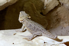 Bartagame Royalty Free Stock Images