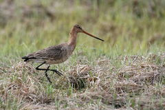 bartailed godwit royaltyfria bilder