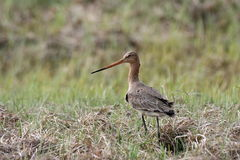 Bartailed godwit. On a meadow, Biebrza National Park, Poland Royalty Free Stock Photos
