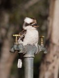 The Bartender. An Australian kookaburra perched on a tap Royalty Free Stock Photo