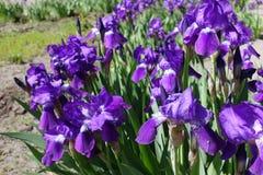 Bartiris in der Blüte im Frühjahr Stockfotos