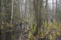 Bartkuskis swamp stock image