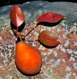 Bartlett pear Stock Photo
