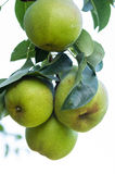 Bartlett pears growing the orchard Royalty Free Stock Image