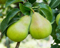 Bartlett pears hanging on the tree Stock Photos