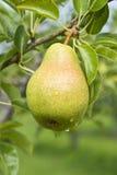 Bartlettbirne-Birne, die auf dem Baum reift Stockfotos