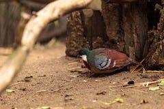Bartletts bleeding-heart dove called Gallicolumba criniger bartl Stock Images