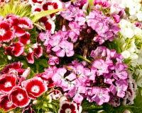 Bartnelkeblumen in der Blüte Lizenzfreies Stockbild