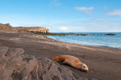 Bartolome island galapagos with sleeping sealion. Royalty Free Stock Photos