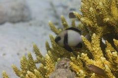 Baru damsel (Dascyllus carneus) Obraz Stock