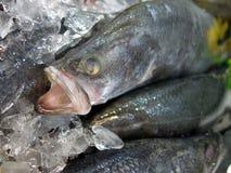 Barumundi鱼 免版税图库摄影