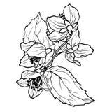 Barwiący stronę z jaśminem rozgałęzia się w vcector ilustraci Zdjęcie Stock