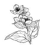 Barwiący stronę z jaśminem rozgałęzia się w vcector ilustraci Obrazy Royalty Free