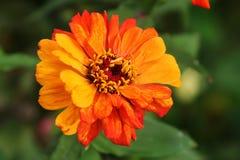 Barwić cynia kwiatu łuny w późne lato ogródzie fotografia stock