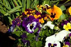 Barwiący pansy kwiaty Fotografia Stock