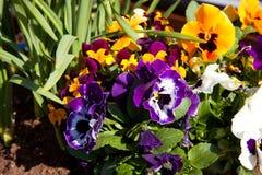 Barwiący pansy kwiaty Zdjęcie Royalty Free