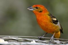 Barwiący Tanager 1 (samiec) Obrazy Royalty Free