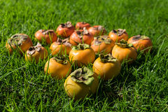 Barwi gradient dojrzała i niedojrzała persimmon owoc Fotografia Stock