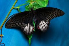 Barwi motyla, na błękitnym tle, odgórny widok PAPILIO HELENUS obraz stock