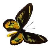 Barwi motyla, odizolowywającego na białym tle z ścinek ścieżką, Ornithoptera rothschildi obrazy stock