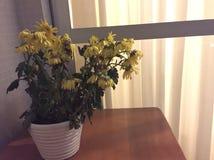 Barwiarski żółty kwiat fotografia royalty free