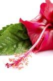 barwiarski kwiat Obrazy Royalty Free