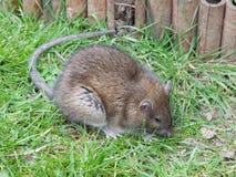Barwiarski szczur Fotografia Royalty Free