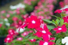 Barwinek lub Madagascar kwiaty obraz royalty free
