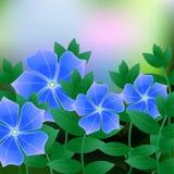 Barwinek wiosny kwiat na błękitnym tle z miejscem dla teksta royalty ilustracja