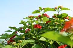 Barwinków kwiatów piękny istny stuknięcie natura Obrazy Royalty Free