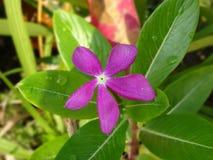 Barwinków kwiaty Fotografia Royalty Free