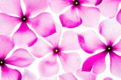 Barwinków kwiaty Obraz Royalty Free