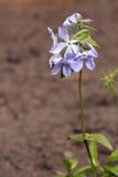 Barwinka kwiat Obrazy Stock