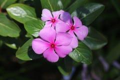 Barwinka kwiat z różowymi purpurowymi płatkami Zdjęcie Stock