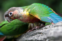 Barwiona falista papuga Zdjęcia Stock