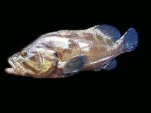 Barwiona grouper ryba Obrazy Stock