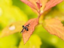 Barwiona komarnica na trawę Obrazy Royalty Free