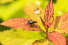 Barwiona komarnica na trawę Zdjęcia Royalty Free