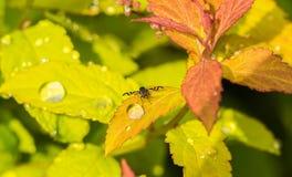 Barwiona komarnica na trawę Zdjęcia Stock