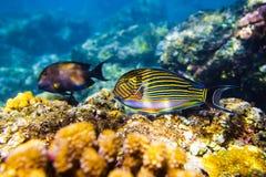 Barwiona ryba i korale w oceanie Zdjęcia Royalty Free
