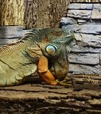 Barwiona samiec zieleni iguana Obrazy Stock