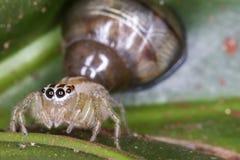 Barwiona skokowa pająka i ślimaczka makro- fotografia obrazy royalty free