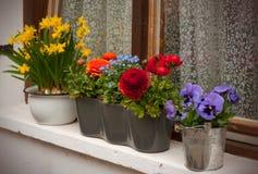Barwiona wiosna kwitnie w garnku na okno zdjęcia royalty free