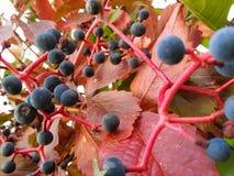Barwione jagody Zdjęcia Royalty Free