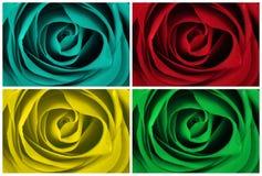 barwione różne róże Zdjęcia Royalty Free