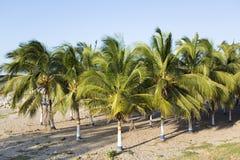Barwioni drzewka palmowe i plaża w Kolumbia Obraz Stock