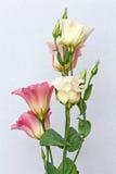 Barwioni Eustoma kwiaty Makro- Obrazy Stock