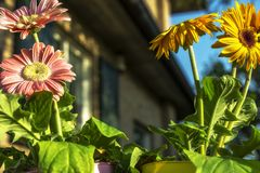 Barwioni gerbera stokrotek kwiatów zbliżenia zdjęcie stock