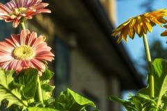 Barwioni gerbera stokrotek kwiatów zbliżenia zdjęcie royalty free