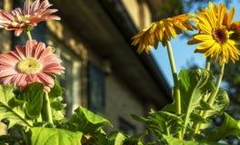 Barwioni gerbera stokrotek kwiatów zbliżenia fotografia stock